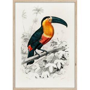 Obraz Tucan 50x70 cm